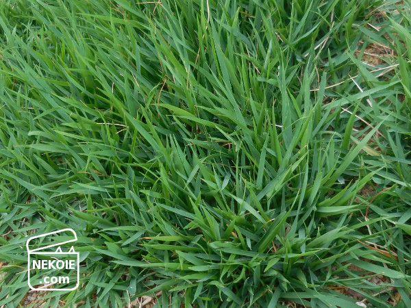 2016-2017*素人がつくる芝生のある庭、キリシマターフ一年間の記録。