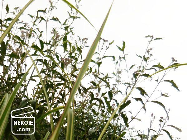 改めて、「秋の七草」の覚え方を考える。