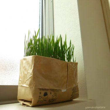 猫草、水耕栽培はじめました。