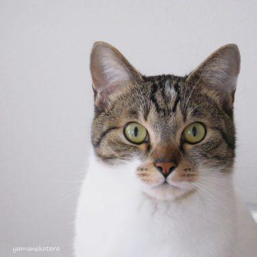 君の猫耳を食べたい