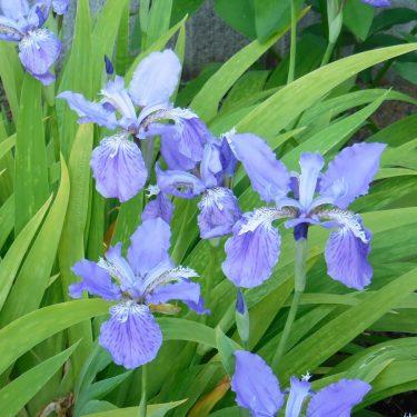2020年4月の庭、コロナ禍でも花は咲く。