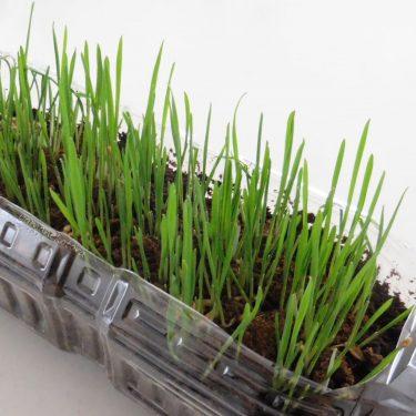 ココナッツ繊維で、猫草栽培。
