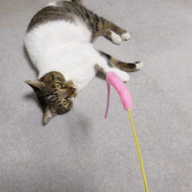猫との遊び、リボンがついただけなのに。