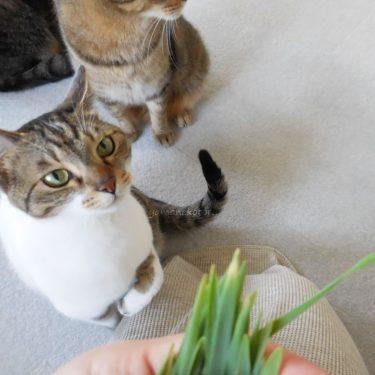 猫草、ベランダ菜園。